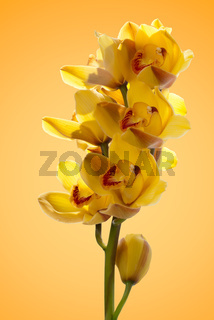 Fresh bright yellow orchid