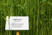 Winterroggen-Feld mit Infoschild