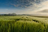 Getreidefeld im Morgennebel, Singen, Bodenseeregion, Baden-Württemberg, Deutschland