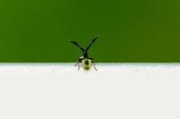 Coreus marginatus, Dock Leaf Bug or Brown Squash Bug. Species of true bug in the family Coreidae.
