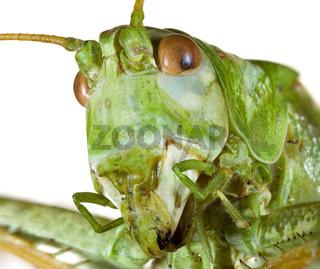 Cricket Head cutout