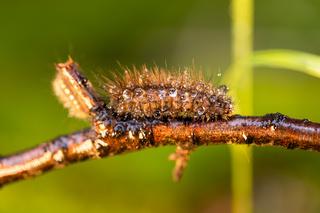 Caterpillar Phragmatobia fuliginosa also ruby tiger. A caterpillar crawls along a tree branch on a green background.
