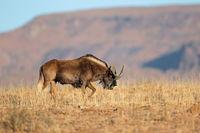 A black wildebeest (Connochaetes gnou) in natural habitat
