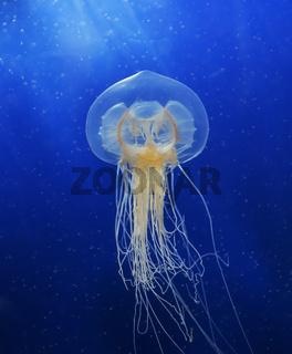 Swimming  Jellyfish