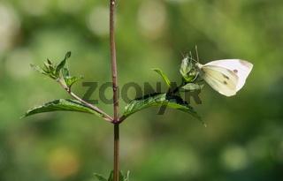 Schmetterling, Kohlweißling an Pflanze