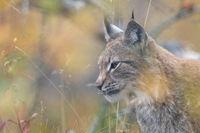 The Eurasian lynx - Lynx lynx - adult animal in autum colored vegetation
