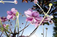 Herbst-Anemone (Anemone hupehensis), blühende  Pfanze im Garten, Blick von unten