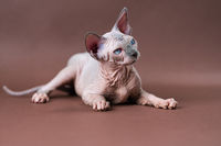 Portrait Sphinx Cat with blue eyes lying down on brown background. Hairless female cat 4 months old
