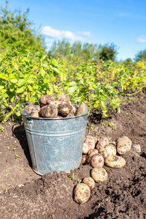 Freshly dug organic potatoes in metal bucket at the vegetable garden