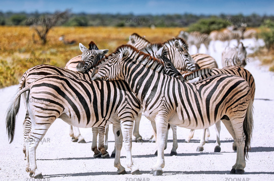 Zebras, Steppenzebras, Etosha, Namibia   Plains Zebras, Etosha NP, Namibia