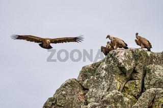 Griffon vultures, Gyps fulvus in Monfrague National Park. Extremadura, Spain