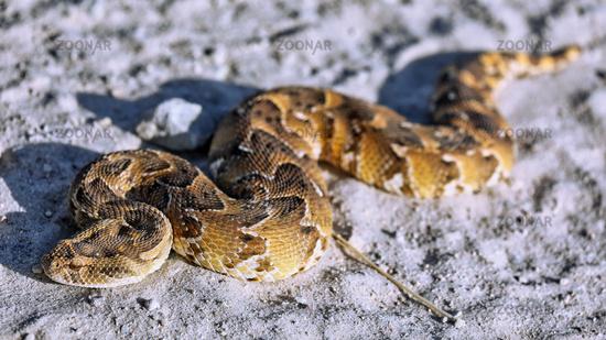 Puffotter, Etosha NP, Namibia (Bitis arietans) | common puff adder, Etosha NP, Namibia (Bitis arietans)