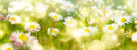 Daisy flower, butterfly on wild field in sun light panorama. Soft focus nature panoramic. Delicate pastel toned image. Greeting card template. Nature spring background. Copy space