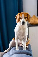 Sleeping beagle dog on couch indoors