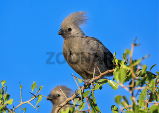 Grauer Lämvogel, Etosha-Nationalpark, Namibia, grey go-away-bird, Etosha National Park, Namibia