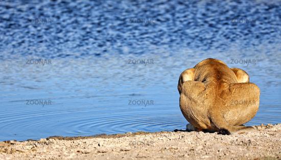 Trinkender Löwe im Morgenlicht, Etosha-Nationalpark, Namibia, (Panthera leo) | drinking lion in the morning light, Etosha National Park, Namibia