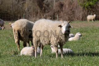 Schafe 6.jpg