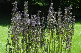 Swertia perennis, Sumpfenzian, Felwort