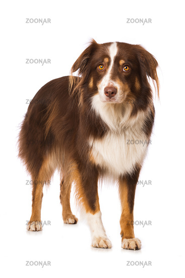 Australian shepherd dog standing isolated on white background