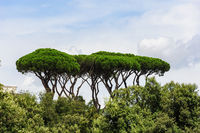Rome park view with typical umbrella pine trees