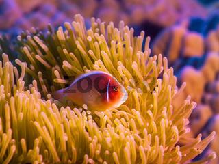 Tropical fish Pink clownfish