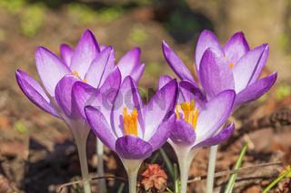 Violette Blüten des Elfenkrokus