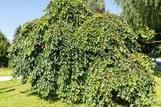 Hängeulme oder Trauerulme mit hängender Krone - Gartengestaltung