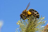 Biene bestäubt Weide