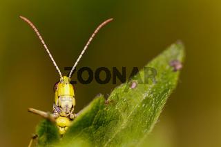 Bunter Grashuepfer (Omocestus viridulus) Weinviertel, Niederösterreich, Österreich, Europa