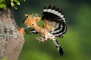 Eurasian hoopoe feeding chick in flight in summer nature.