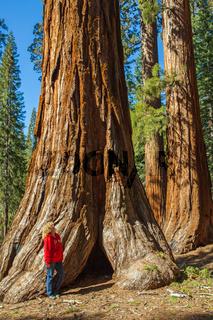 Mammutbäume im Yosemite Nationalpark