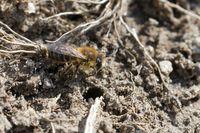 Frühlings-Seidenbiene am Nest