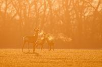 Roe deer, capreolus capreolus, morning backlight silhouette.