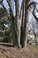 Aesculus hippocastanum, Rosskastanie, Horse chestnut