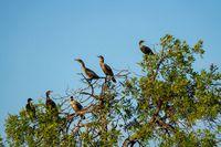Cormorants in Tree