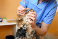 Male professional veterinarian doctor examining dog eye.