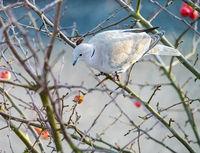 Dove sitting on an apple tree