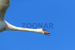 Hoeckerschwan Portraet eines fliegenden Altvogels / Cygnus olor