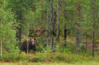 Braunbär (Ursus arctos), brown bear
