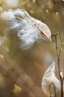 Milkweed pods opening with seeds  blowing in the wind