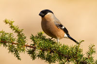 Female of eurasian bullfinch, pyrrhula pyrrhula, resting on the common juniper