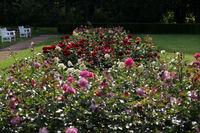 Rosen im Gegenlicht auf der Rosenhöhe Darmstadt
