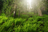 Old-growth forest with growing fern in shining sun day