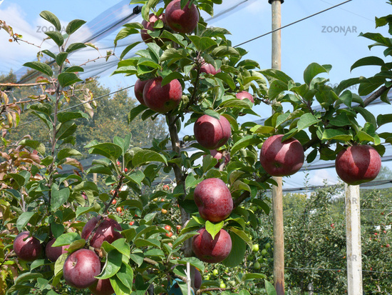 Atemberaubend Foto Malus domestica Macoun, Apfel, Apple Bild #4405067 #DF_41
