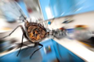 housefly  Flying in kitchen