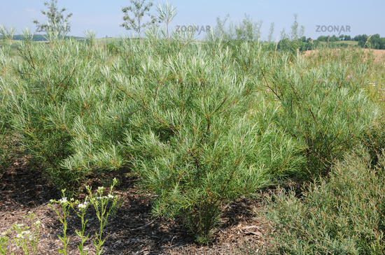 Salix repens ssp. rosmarinifolia, Kriechweide, Creeping willow