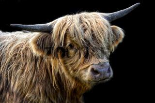 schottische Hochlandrinder junge Kuh 3