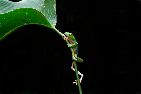 Climbing leaf frog.