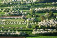 Kirschblüte im Eggener Tal