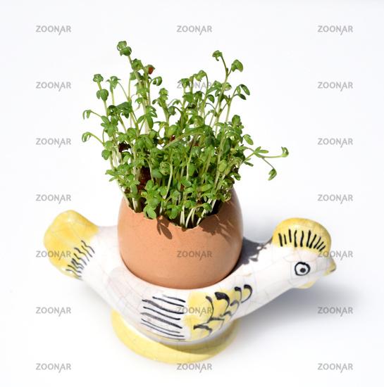 Kresse, Saemling, Lepidium Sativum, Ei